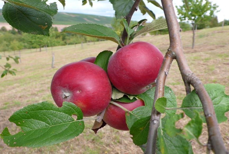 """Zwiebelapfel"", Regionalsorte im Nahe-Hunsrück-Gebiet, beliebter Weihnachtsapfel"